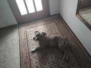 Verkaufe englischen Bulldog Rüde