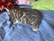 Bengal Kitten 3 Kater XXL