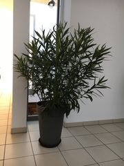 Oleander mit Topf
