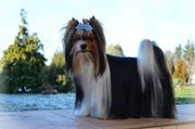 Biewer Yorkshire Terrier pedigree