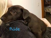 Wunderschöner Labrador- Mix Welpen