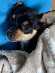 Chihuahua möchte gute Gene weitergeben