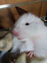 Teddy Gold Hamster Nachwuchs
