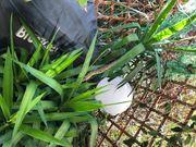 160cm große Yucca Palme Grünpflanze