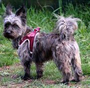 Yaki - Cain-Terrier West Highland-Terrier - Mix