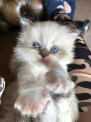 Perser Kätzchen mit Nase