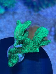 Hydnophora Ableger LPS Koralle
