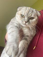 Scottish Fold Kätzchen 7 Monate