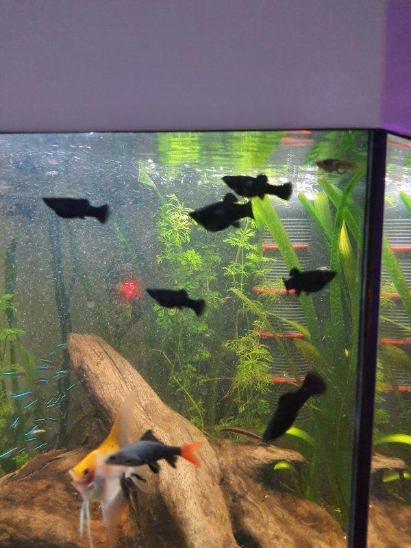 10 Bkack molly Fische zu