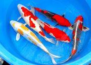 Biotopfische Koi Teichfische Störe Muscheln