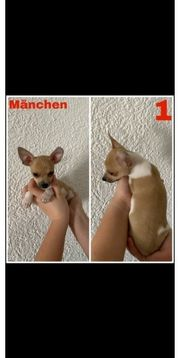 Chihuahua Jack russell welpen