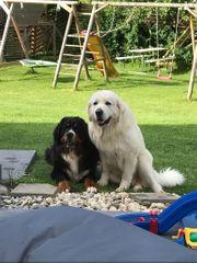 Berner Sehnenhund 3 5J Rüden