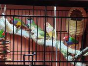 Suche Graupapagei anderen Papagei oder