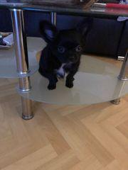 bildschöner Chihuahua Rüde