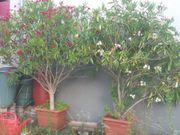 zwei große schöne Oleander weiß