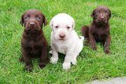 typevolle Labradorwelpen Labrador Welpen