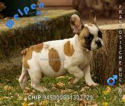 Französische Bulldoggen Welpen in schönen