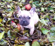 Französische Bulldoggen Welpen abgabebereit
