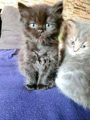wunderschöne Perser mix kitten