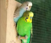schöne Papageienpaare
