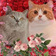 Wurfankündigung BKH Kitten zuckersüße Katzenbabys