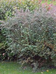 Spierstrauch Frühlingsspiere weiß 2 m