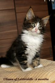 Ulisses - Maine Coon - sehr schmusiger