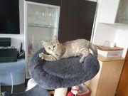 Bkh Golden Silver Tabby Kitten