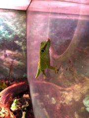 Großer Magagaskar Taggecko lat phelsuma
