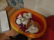 Mischlinge kitten Devonrex