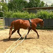Pferdetraining Unterricht an der Doppellonge