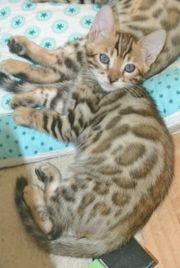 Bengalen Katzen Kitten Kätzchen Kater