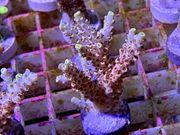 Acropora Meerwasser Korallen