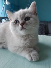 BKH Scottish Straight Kitten