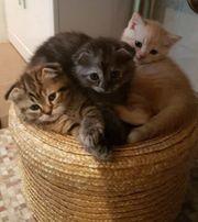 3 süße BKH Kitten