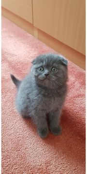 BKH und Scottish Fold Kitten