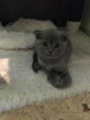 Zwei Schottische Faltohr Babykatzen