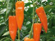 orange Spitzpaprika samen