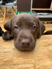 Labrador Mix Welpen suchen Dich