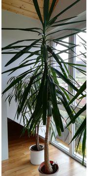 Drachenbaum Zimmerpflanze
