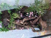 Terrarium mit Jungferngecko