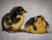 Küken von bunten Landhühnern Hühnerküken