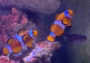 Meerwasser Clownfisch Pärchen