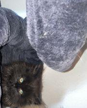 wunderschöne langhaar kitten
