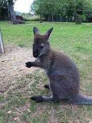 Bennett Wallaby Känguru