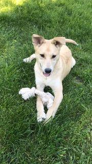 NICO - 6 Monate Schäferhund-Mischling Rüde
