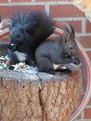 2 Junge schwarze Eichhörnchen Böcke