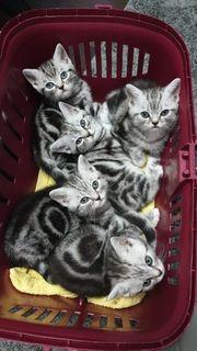 Reinrassige BKH Kitten in Black