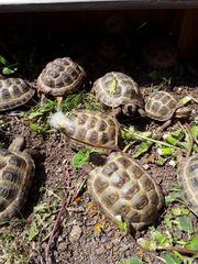 4 - 7jährige Steppenschildkröten Vierzehenschildkröten Russische