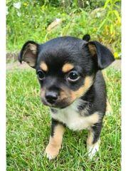 Rehpinscher-Chihuahua-Mix